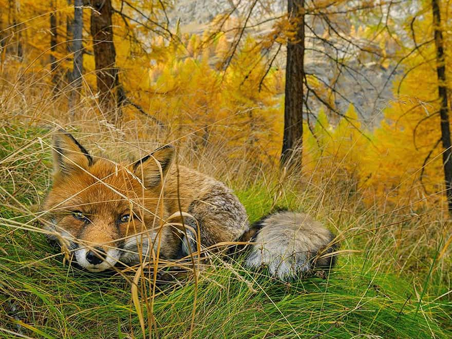 Fox Found, Gran Paradiso National Park , Italy