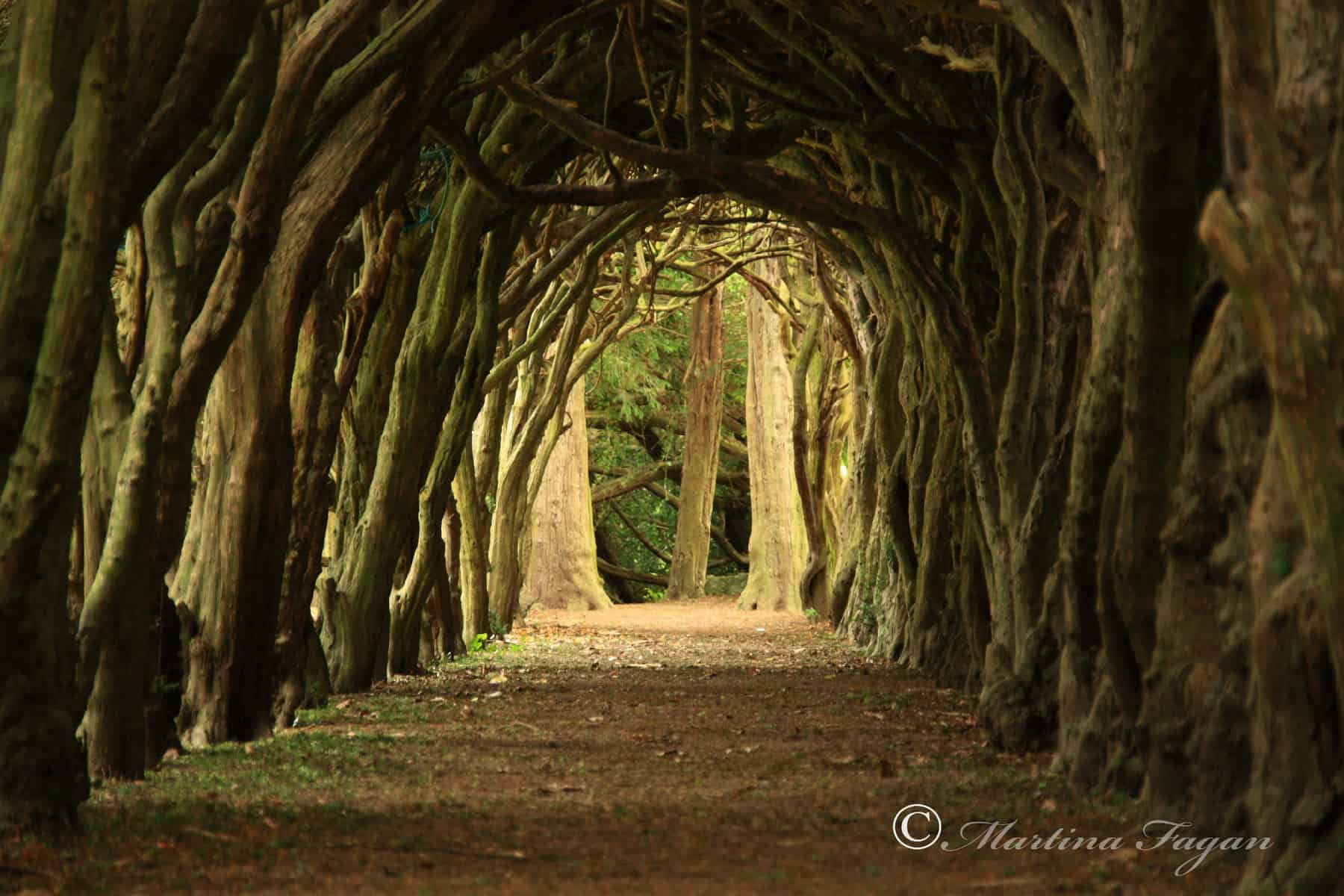 Tunnel of Trees – Gormanstown College, Co Meath, Ireland – photo by Martina Fagan