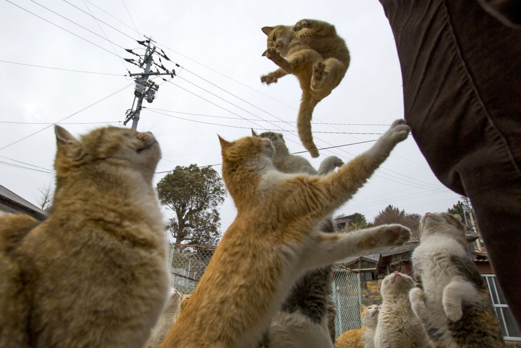 Ocasinally, these japanese cats dance for the tourists.
