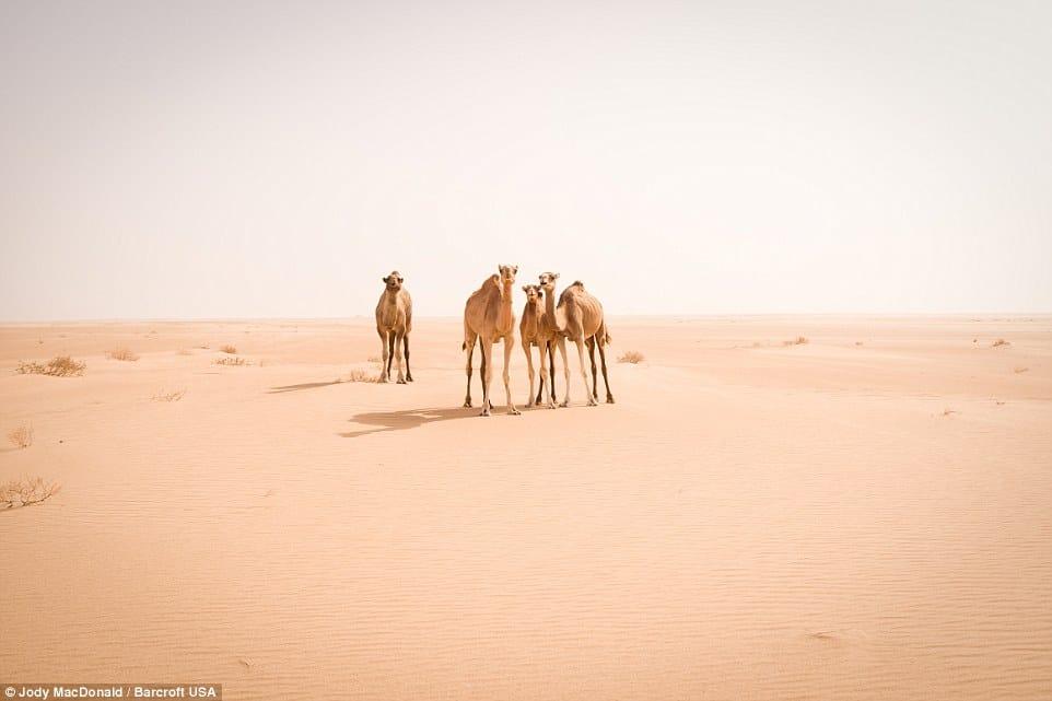 Curious wild camels in Sahara