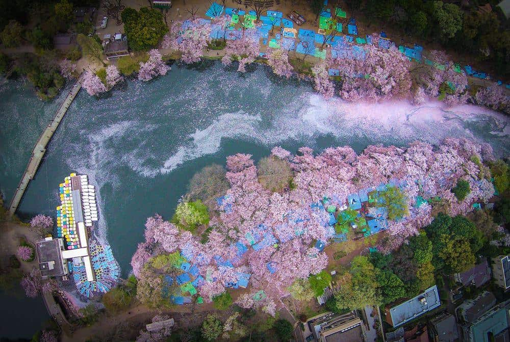 Inokashira park in Tokyo where many people celebrate their hanami event