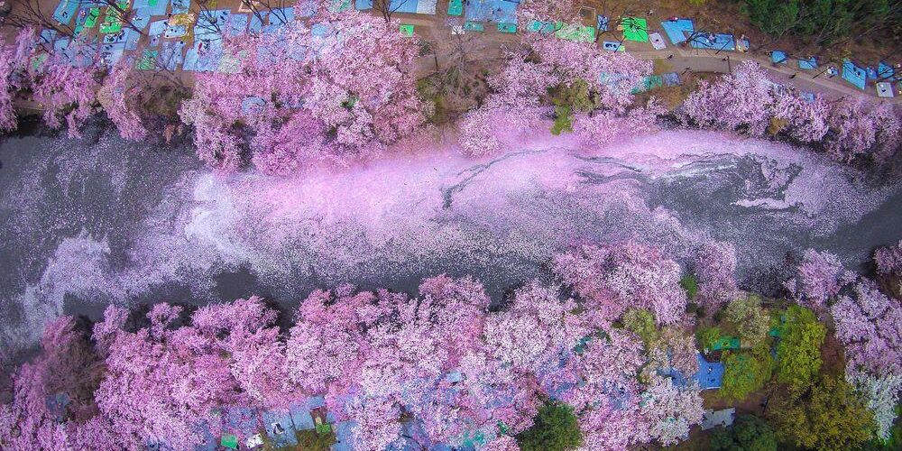 Inokashira park where some japanese celebrate their hanami party under the tree of cherry blossom
