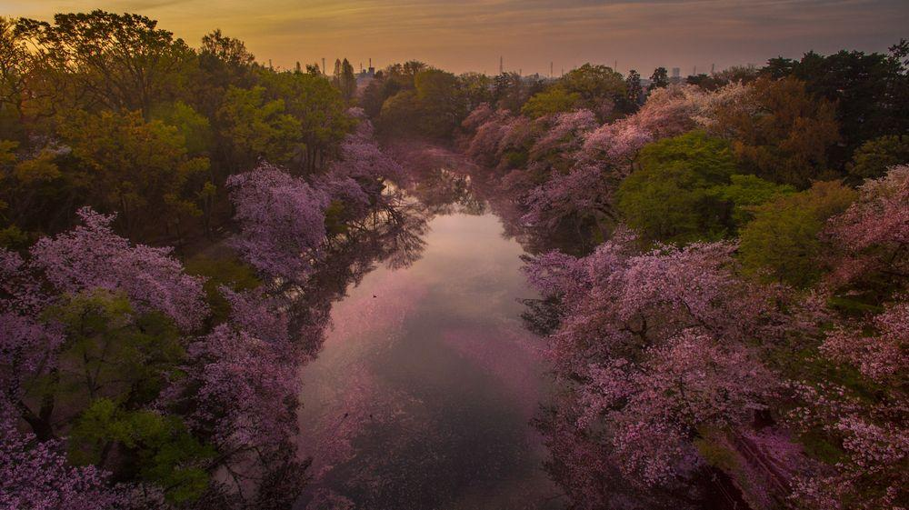 Sunrise moment at Inokashira park when the cherry blossom fall