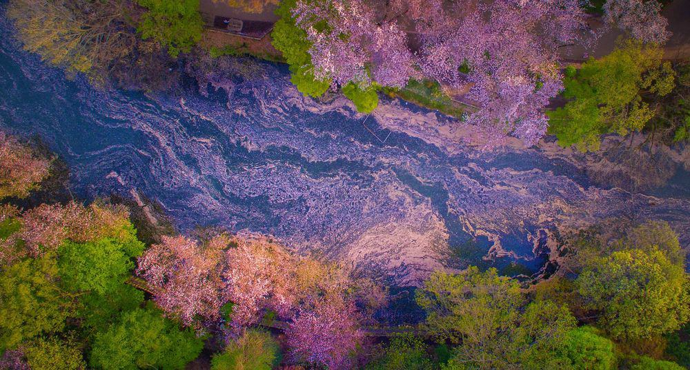 The floating petals of cherry blossom that fall in the water at Inokashira park Tokyo.