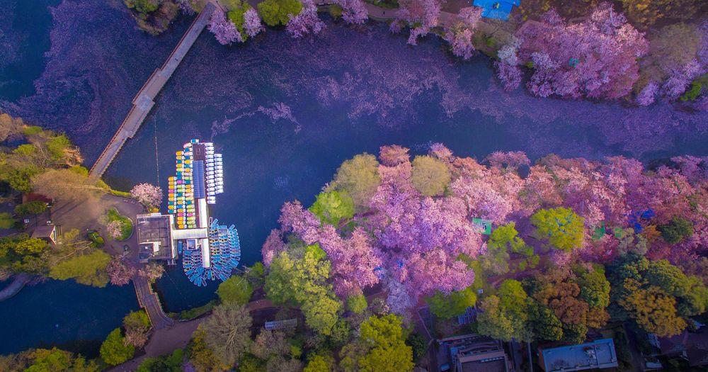 Cherry Blossoms colorful lake view. Aerial shot by Danilo Dungo.