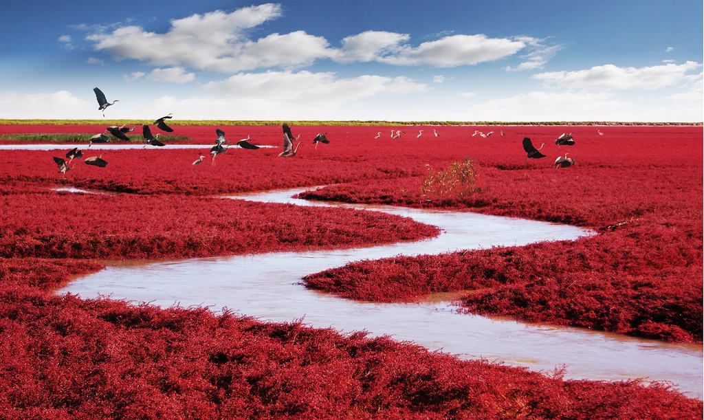 The Red Beach in Panjin, China. There is no sand but only seaweeds covering almost the entire Liaohe Delta. Photo credit MJiA