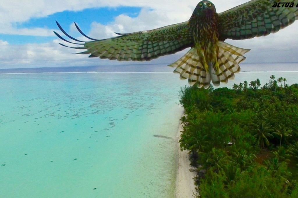 A magnificent bird attack in French Polynesia