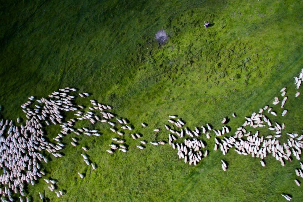 Swarm of sheep near Sibiu, Romania